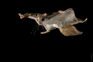 1830 1r1 alex badyaev flyingsquirrel gliding1 300x200 SİNGAPUR – 1.gün SİNGAPUR Night Safari